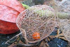 Lampionnetje echte lampionplant (Physalis alkekengi) (despinkamer) Tags: echte physalis lampionplant alkekengi