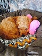 pollys-bella-is-having-a-well-deserved-nap-at-her-home_16973019989_o