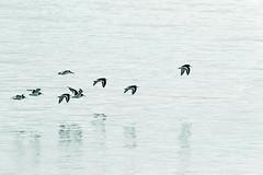 0G6A3415-Edit.jpg (saleterrier) Tags: flight oystercatcher hilbre hilbreisland