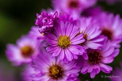 Mickles (JKmedia) Tags: flowers flower nature floral gardens flora purple many devon colourful nationaltrust 2015 castledrogo canoneos7d boultonphotography autumn2015