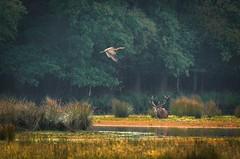 Purperreiger en edelhert (vvvmiddenlimburg) Tags: herfst september edelherten weerterbos