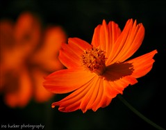 It's so hard when I have to.... (itucker, thanks for 2.4+ million views!) Tags: cosmos macro bokeh raulstonarboretum