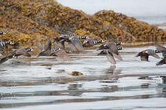 Harlequin Ducks (USFWSAlaska) Tags: kodiak