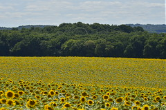 Champs de tournesols devant un bois (Flikkersteph -4,000,000 views ,thank you!) Tags: rural landscape nature summer beautiful plantation sunflowers countryside fields clearsky champagneetfontaine prigord france