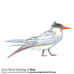 Tern with Color Pencils (drawingtutorials101.com) Tags: tern seabirds animals sketching pencil sketch sketches drawing draw speeddrawing timelapse timelapsevideo coloring color how
