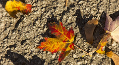 Maple Key & Maple Leaf (rumimume) Tags: potd rumimume 2016 niagara ontario canada photo canon 550d t2i sigma fall autumn outdoor leaf leaves red yellow concrete