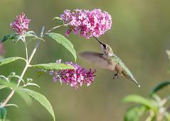Butterfly Bush Buffet (Jen St. Louis) Tags: butterflybush hummingbird elmira canada ontario bird rubythroatedhummingbird inflight flowers garden backyardbirding nikond750 nikon200500mm jenstlouisphotography wwwjenstlouisphotographycom