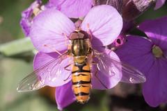 IMG_9032.jpg (TonyJ 3006) Tags: episyrphusbalteatus hoverflies