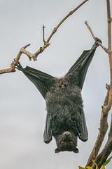 Bat yoga (rachelsloman) Tags: bat flyingfox splits yoga