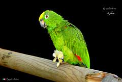 PAPPAGALLO.   in explore ! (Salvatore Lo Faro) Tags: pappagallo pennuto uccello verde giallo rosso blu salvatore lofaro nikon d200