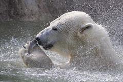 A fish in the paw is worth two in the pool (ucumari photography) Tags: ucumariphotography anana polarbear ursusmaritimus oso bear animal mammal nc north carolina zoo osopolar ourspolaire oursblanc eisbär ísbjörn orsopolare полярныймедведь october 2016 dsc4258 specanimal 北極熊