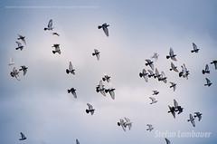 Flying doves (Stefan Lambauer) Tags: flyingdoves doves pombas birds sky santos brasil brazil stefanlambauer