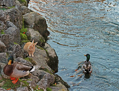 curiosity (ludi_ste) Tags: rabbit coniglio anatre ducks canali channels water acqua rive shores treviso