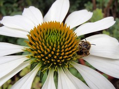1051 (bluefootedbooby) Tags: echinacea ape insetto fiore flower fleur flor bee abeille