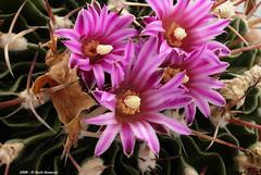 Echinofossulocactus (Paolo Bonassin) Tags: cactaceae cactacee cactus succulente flowers echinofossulocactus