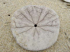 sand dollar bottom (bensalzberg) Tags: macro sand dollar gnathostomata