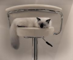 ipi2 (Uniquva) Tags: cat sacred birman barstool tail sleeping indoor white