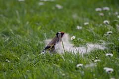 ckuchem-0424 (christine_kuchem) Tags: brutzeit distelfink frhjahr frhling gras haare hundehaare nest nestbau nistmaterial rasenflche stieglitz suche sammelt singvogel vogel tierhaare tiere