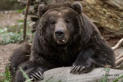 IMG_4897 grizzly bear (starc283) Tags: starc283 nature naturesfinest mountains bear grizzlybear wildlife