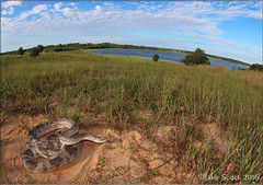 Florida Pine Snake (Pituophis melanoleucus mugitus) (Jake M. Scott) Tags: herp herping herps fieldherping outdoors outside outdoor snake snakes reptile jakescott pituophis melanoleucus mugitus pine pinesnake floridapinesnake florida floridawildlife wildlife canon sigma wideangle wide