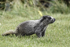 Hoary Marmot (Marmota caligata) (Alan Vernon.) Tags: hoary marmot marmota caligata mature forge foraging eating grass grasses nature wildlife wild mammal american shore alaska
