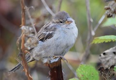 (careth@2012) Tags: sparrow nature wildlife