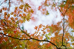 ( ()) Tags: pentax m42 spf  film  filmphotography supertakumar55mmf18 takumar 55mm f18 55 18 bokeh rossmann 200 rossmann200 japan karuizawa    maple