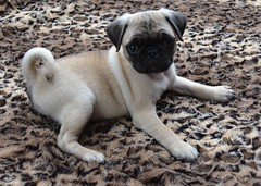 Pug Puppy On Leopard (DaPuglet) Tags: pug puppy dog leopard blanket animals pets cute pugs dogs pet animal puppies coth5 fantasticnature sunrays5