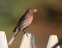 """House Finch"" ""Carpodacus mexicanus"" (jackhawk9) Tags: housefinch carpodacusmexicanus finch birds wildlife nature southjersey jackhawk9 newjersey canon ngc backyardbirding"