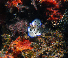 Cute little nudi from Bali (Fishtracker) Tags: bali scubadiving southernseashots seaseadx1g suepeatling scuba diving shrimp tulamben worm nudibranch