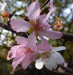 Pink Blossoms - sakura (zad53) Tags: saveearth