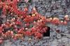 Parthenocissus tricuspidata (esta_ahi) Tags: lleida parthenocissus tricuspidata parthenocissustricuspidata vitaceae parravirgen fulles hojas trepadora red lametlladesegarra segarra lérida spain españa испания lasegarra