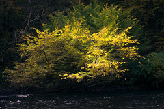 Autumnal glance across the river (fushoku) Tags: 160 280mm apsc alpha6000 autumn black emount fall foliage forest green iso100 kmount leaf light mirrorless nature outdoor pentax plant prime river smcpentaxk13528 sony sun tree water wood yellow f80