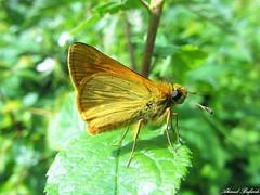 Butterfly 1055 (+360000 views!) Tags: butterfly borboleta farfalla mariposa papillon schmetterling