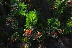 nicht identifiziert im Baumheiden-Buschwald (Fayal-Brezal) (5) (Chironius) Tags: unidentified plant teneriffa spanien blte blossom flower fleur flor fiore blten    frucht fruit frutta owoc fruta  frukt meyve    buah puertodelacruz spain  espaa tenerife