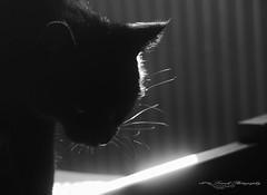Rose my love (laurek.photography) Tags: portrait black white light cat chat pet moustache