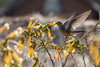 Giant hummingbird (fabioresti) Tags: perù 2016 birdwatching colibrìgigante gianthummingbird patagonagigas islasuasi laketitikaka