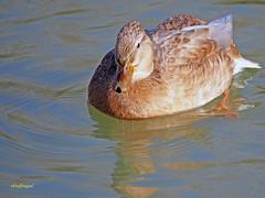 Hembras de  (2) (eb3alfmiguel) Tags: aves acuaticas anade