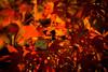 Youroukeikoku / Canon EOS60D:Canon EF-S60mm F2.8 Macro USM (telenity) Tags: japan tateyama yourou danboard mini macro autumn leaves landscape 日本 館山 紅葉 秋 ダンボー ミニ