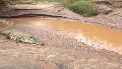 Crocodile at Galana river