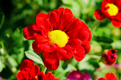 Red Florists' Daisy (Type Unknown) : 洋菊(種類不明) (Dakiny) Tags: 2016 autmn november japan kanagawa yokohama aoba ichigao outdoor nature field plant flower blossom chrysanthemum chrysanthemummorifolium chrysanthemum×morifoliumramat floristsdaisy red macro bokeh nikon d7000 nikkor 50mm f18 afsnikkor50mmf18g nikonafsnikkor50mmf18g nikonclubit