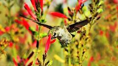 It's Showtime (vgphotoz) Tags: vgphotoz showtime macro bird hummer nature flowers itsshowtime arizona colors fugitivemoment friends