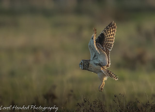 Short Eared Owl with landing gear down