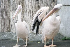 Pelecanus onocrotalus --  Eastern White Pelicans 1318 (Tangled Bank) Tags: asahiyama zoo hokkaido japan japanese asia asian animal zoological gardens pelecanus onocrotalus eastern white pelicans 1319 bird