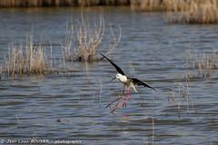 _MG_8787 LR flickr.jpg (Jean Louis BOUYER photographie) Tags: oiseaux échasse blanche échasseblanche
