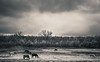 horse field (Zlatko Vickovic) Tags: streetstreetphoto streetphotography streetphotographybw streetbw streetphotobw blackandwhite monochrome zlatkovickovic zlatkovickovicphotography novisad serbia vojvodina srbija landscape horses horse horizon