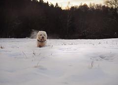 Scoot (velvetmeadow) Tags: dog dogrun westie westhighlandterrier mydog firstsnow fun scoot run tearaway winterscene snow dogwalk pet velvetmeadow