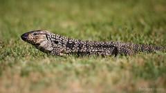 Teju (Fabian Ribeiro Fotografias) Tags: lagarto teju campogolfe golfe santanadolivramento
