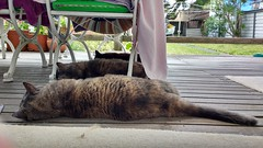 A very hot day (~ MCJ) Tags: josie rescuecat greybluecreamtortoiseshell 10yo cardiomyopathy matilda midnight