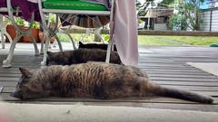 A very hot day (~ MCJ) Tags: josie rescuecat greybluecreamtortoiseshell 10yo cardiomyopathy matilda midnight